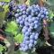 El CRDOPJumilla advierte sobre el oídio y mildiu en el viñedo
