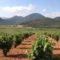 El 23 de junio acaba el plazo para solicitar unas ayudas para el viñedo
