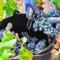 El excelente grado de maduración de la uva vaticina una vendimia de máxima calidad