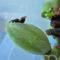 La Consejería de Agricultura logra limitar y reducir la plaga de la avispilla del almendro