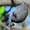 Coag alerta del riesgo de una expansión  descontrolada de la avispilla del almendro