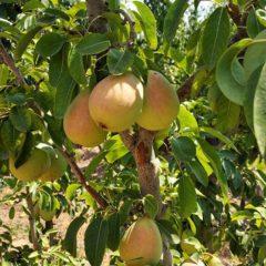 COAG y la DOP Pera de Jumilla alertan de pérdidas millonarias en los frutales