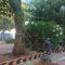 El ayuntamiento repone las siete palmeras que fueron arrancadas